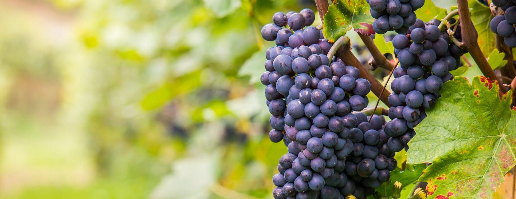 grand cru classé Graves Bordeaux